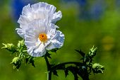 Closeup of a Couple of Beautiful White Prickly Poppy (Argemone albiflora) Wildflowers