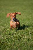 Miniature Dachshund On The Run