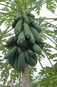 Papaya fruit on a tree (lat. Carica papaya, Caricaceae)