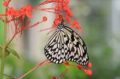 picture of nymph  - Large Tree Nymphs butterfly and flowers - JPG