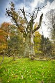 Hdr Shoot Of A Very Old Oak Tree On A Meadow