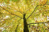 pic of glow-worm  - beautiful treetop of an autumn beech tree - JPG