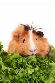 picture of guinea pig  - funny brown cavy on the white background - JPG