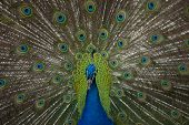 Fan tail front of peacock