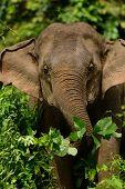 Asian Elephant (elephas Maximus)