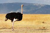 A ostrich (Struthio camelus) on the Masai Mara National Reserve safari in southwestern Kenya.