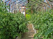 Tomatoes In Greenhouse. Growing Tomatoes In A Greenhouse