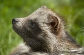 Raccoon Dog Sniffs.