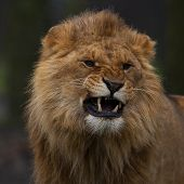 Young Lion Growls.