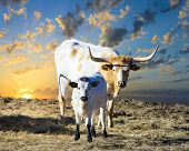 stock photo of calves  - Female Longhorn cow grazing in a Texas pasture at sunrise with her young calf - JPG