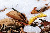 stock photo of primrose  - primrose yellow on the background of last year - JPG
