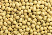 picture of soybeans  - Close up soybeans texture for background used - JPG