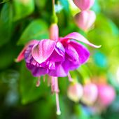 image of pompous  - blooming red and lilac fuchsia flower on green background  - JPG