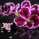 image of geranium  - beautiful spa background of geranium flower beads and black zen stones with drops in reflection water closeup - JPG