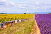 foto of honey bee hive  - Bee hives on lavender and sunflower fields near Valensole Provence with a lot of bees - JPG