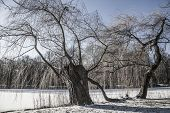 foto of weeping willow tree  - Weeping willow tree by the lake - JPG