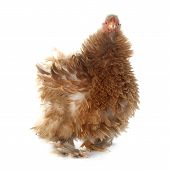 picture of frizzle  - Pekin bantam in front of white background - JPG