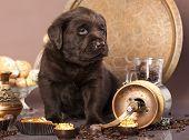 stock photo of chocolate lab  - chocolate labrador - JPG