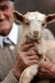 foto of baby goat  - Closeup of a senior man holding a cute baby goat outdoor - JPG