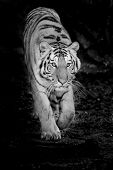 pic of sundarbans  - Closeup Tiger animal wildlife on black background - JPG