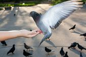 stock photo of spread wings  - Gray dove with spread wings on hand - JPG