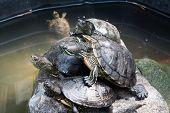 pic of amphibious  - beautiful little turtle sitting on a stone - JPG