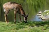 White tailed deer eating grass