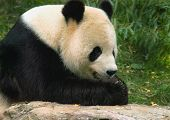Giant Panda At National Zoo In Washington 2