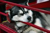 Alaskan Husky Sleeping