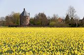 Dutch daffodils field in springtime