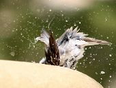 Bird At Bath