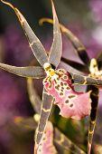 Orchidaceous Flower In Keukenhof Park