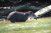 Wild Adult Male Tapir standing in river, Costa Rica