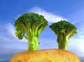Broccoli Trees On Potato Hill