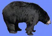 Bear Profile On Blue