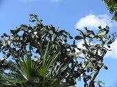 Island Cactus
