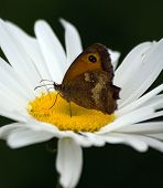 pic of gatekeeper  - A Gatekeeper Butterfly collecting nectar from a flower - JPG
