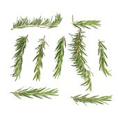 Rosemary Herbs And Medicinal Herbs. Organic Healing Herbs. Fresh Rosemary Bunch Rosemary Isolated On poster