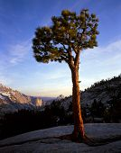 Olmsted Pointpine Tree