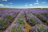 Lavender Flower Blooming Scented Fields In Endless Rows. Day View. poster
