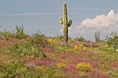 Saguaro With Wild Flowers