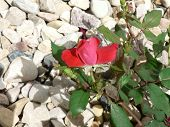 Red Rose On White Stones