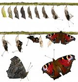 picture of chrysalis  - Composite of Peacock butterfly - JPG