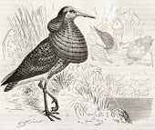 Ruff old illustration (Philomachus pugnax). Created by Kretschmer, published on Merveilles de la Nat