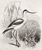 Pied (Recurvirostra avosetta) de la vieja ilustración del avoceta. Creado por Kretschmer y Wendt, publicado en