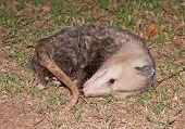 stock photo of possum  - Possum playing dead at night - JPG