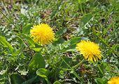 Coltsfoot flowers growing among green grass