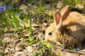 Brown Fluffy Bunny In A Meadow Of Blue Flowers.a Small Decorative Rabbit Goes On Green Grass Outdoor poster