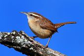 Carolina Wren On A Branch