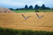 Cicogna Bianca, Ciconia Ciconia, White Stork